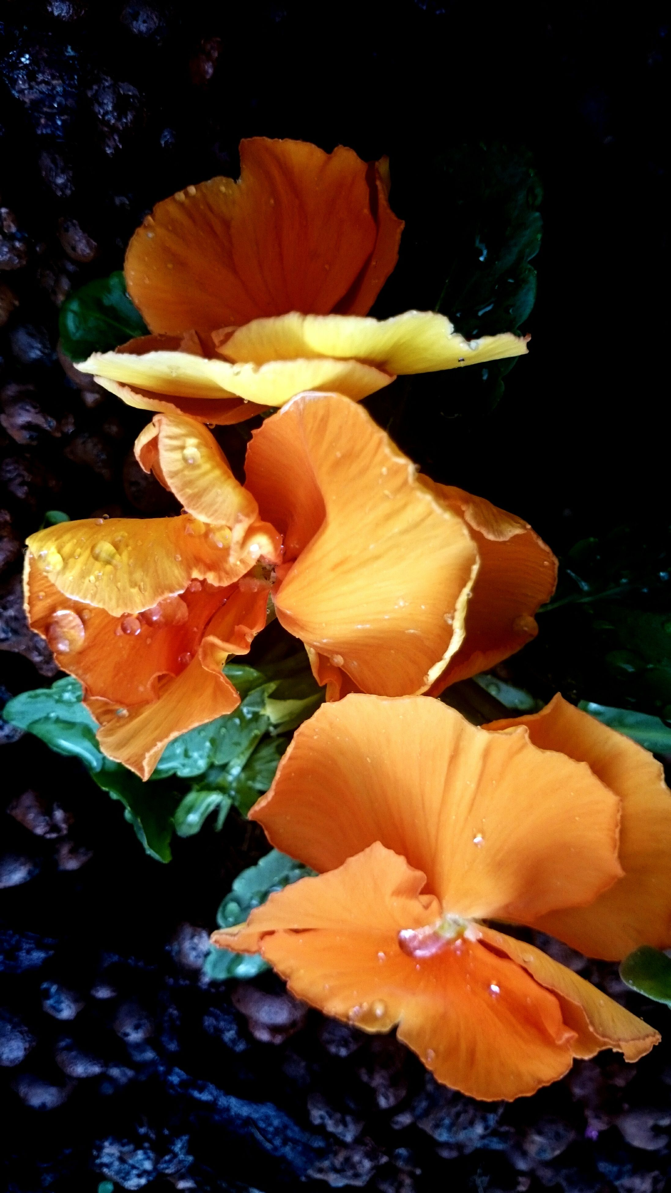 petal, flower, fragility, flower head, freshness, beauty in nature, growth, close-up, nature, orange color, leaf, blooming, plant, season, focus on foreground, single flower, yellow, rose - flower, in bloom, wet