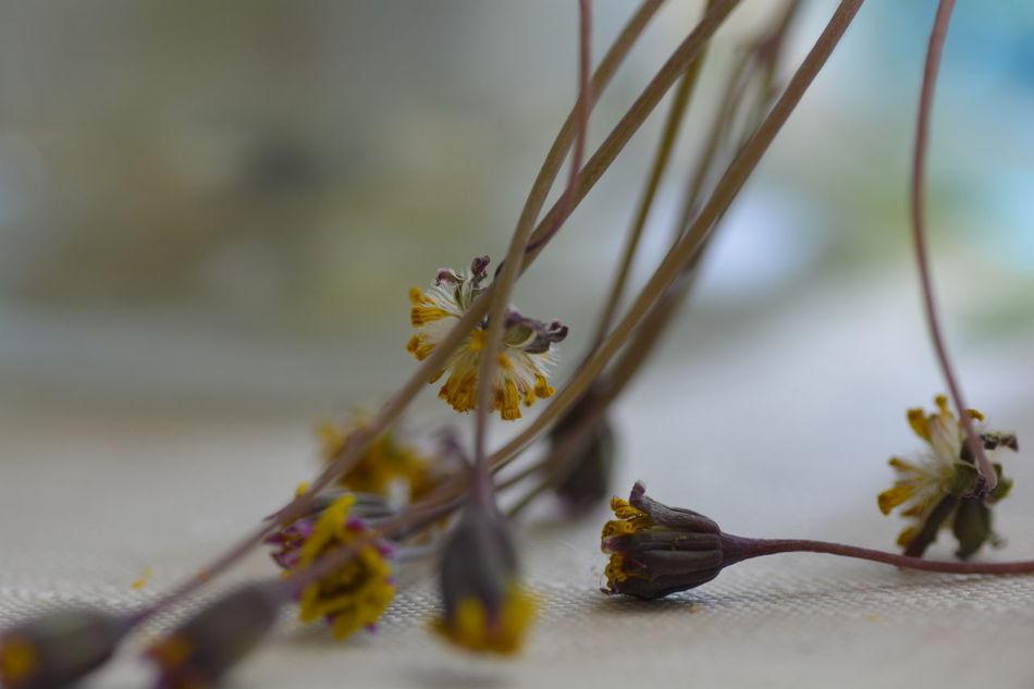 TAMROM Nikon D5200 Japan EyeEm 2015 ルビーネックレス 花 Flower 花が咲き終えた姿