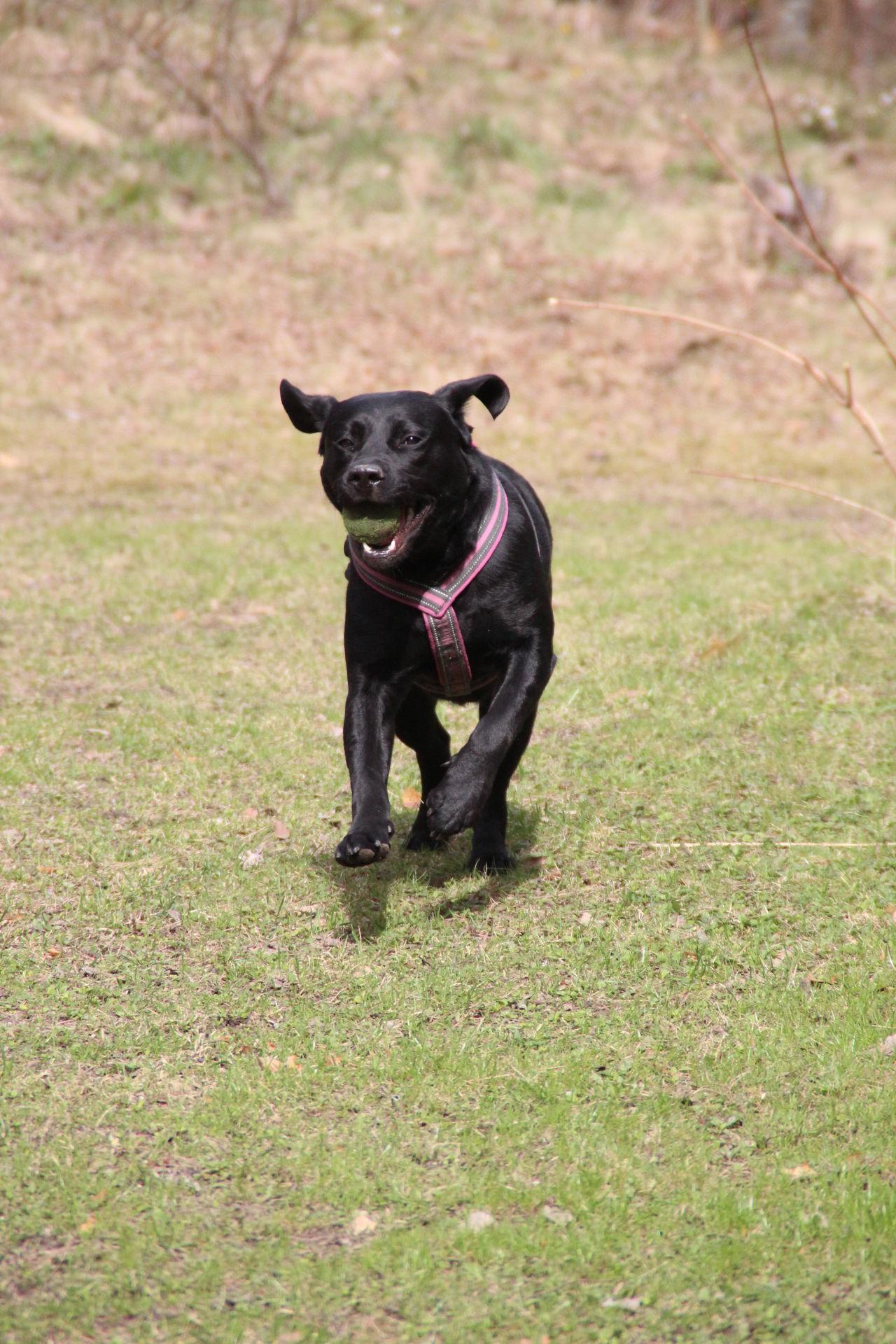Fetch The Ball Fun In Speed LabradorRetriever