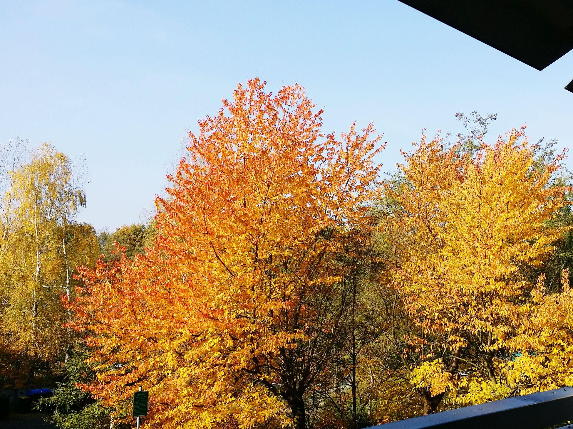 Dresden Autumn Autumn🍁🍁🍁 Autumn Colors Autumn Impression Autumn Impressions Herbst Herbststimmung Herbstfarben Colorful Yellow Gelb Tree Trees Baum Bäume 🍁🍃🍂🌿🌲🌳🌰