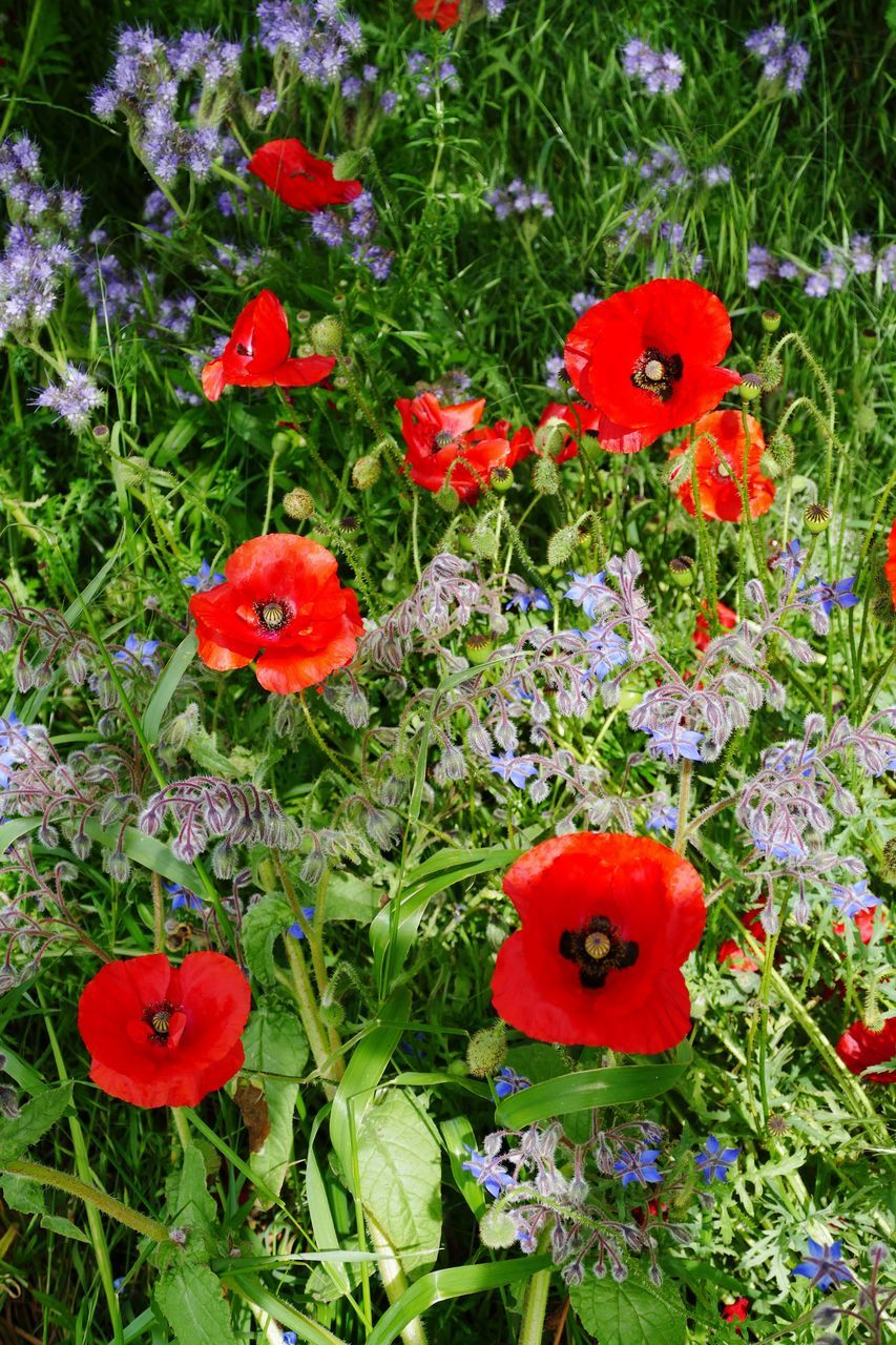 flower, red, growth, plant, fragility, poppy, beauty in nature, nature, petal, freshness, no people, flower head, outdoors, high angle view, day, blooming, green color, field, close-up, grass