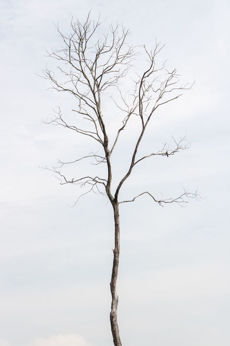 On branches of a bare tree, a kingfisher is resting on left, while a turtledove on right. Abstract Background Bare Tree Birds Branches Kingfisher Left Nature Resting Right Silhouette Sky Tall - High Thin Tree Turtledove Two