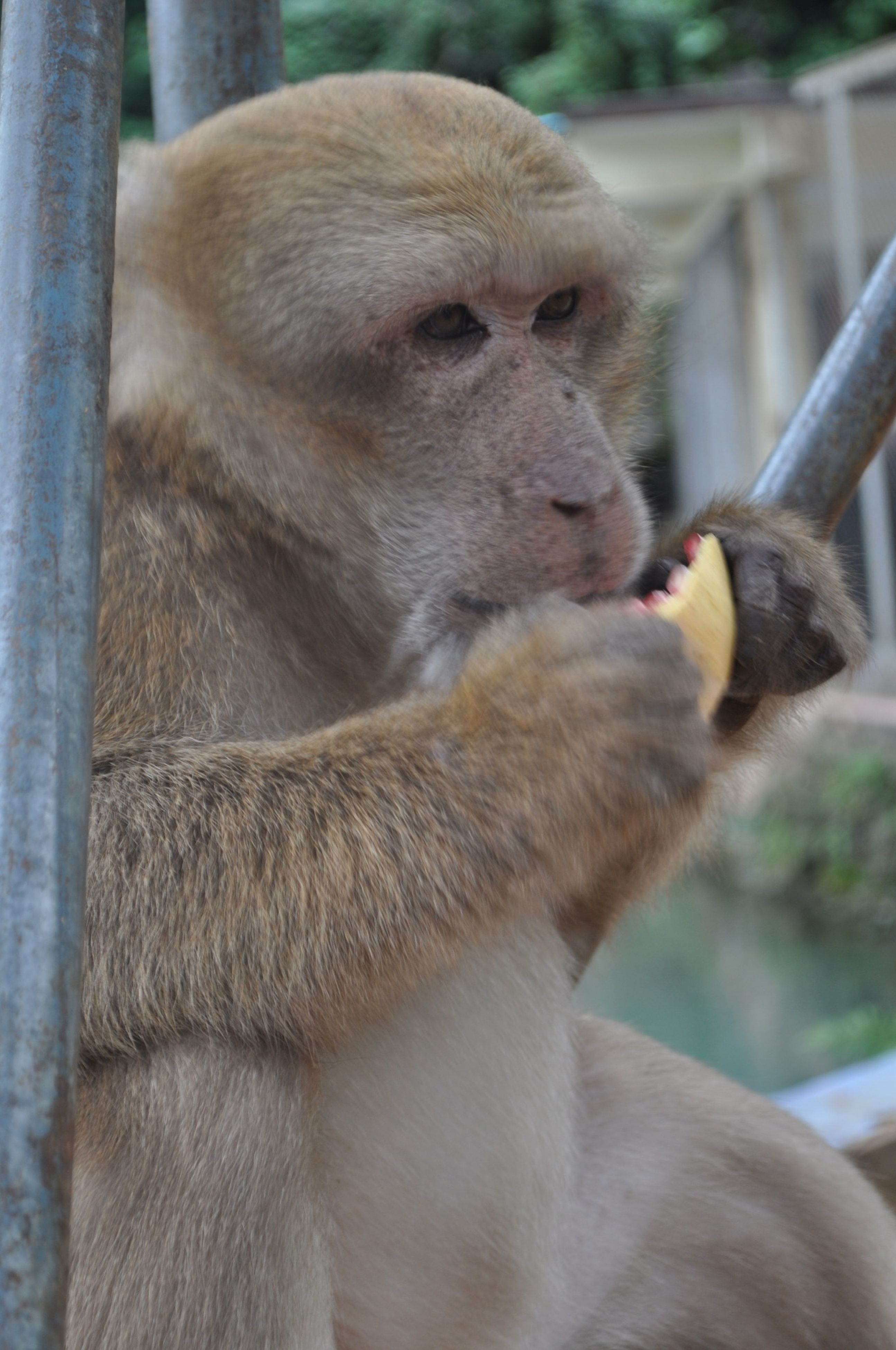 animal themes, one animal, mammal, animals in the wild, wildlife, focus on foreground, monkey, close-up, looking away, day, brown, relaxation, zoo, outdoors, nature, sitting, animal head, animals in captivity, no people, primate