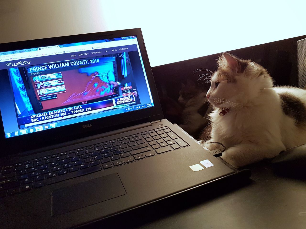 Watching American Elections Cat Domestic Cat Elections USA American Elections 2016