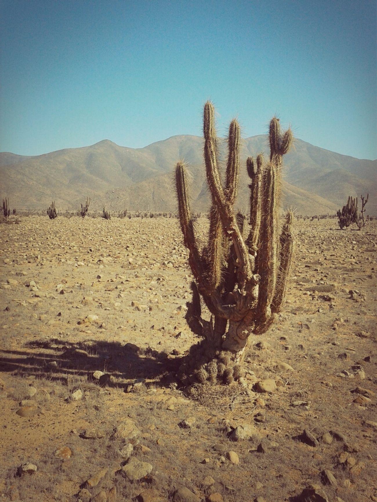 Desert Nature Cactus