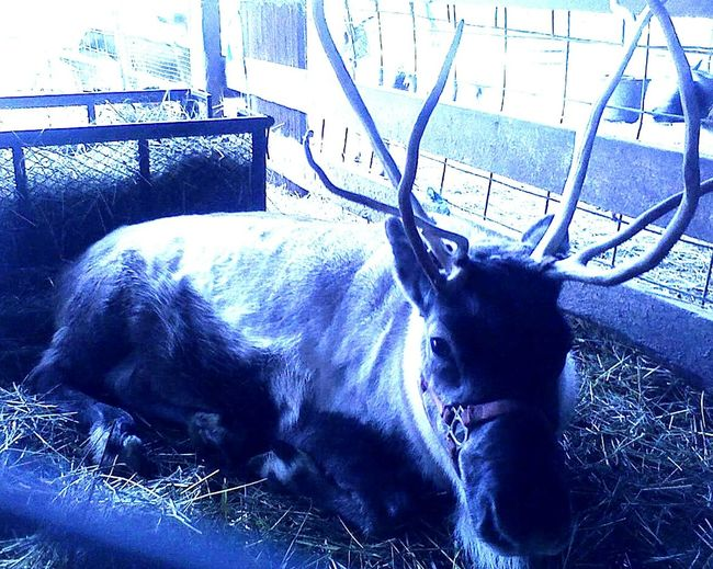 Animal Themes Fence Mammal No People One Animal Day Nature Outdoors Close-up Antler Washingtonstate Beauty In Nature Clear Sky Reindeer Sighting Reindeer❤️❤️ Harvest Celebrations