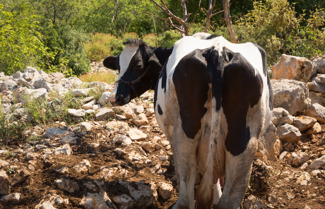 Cow Farm Animal Themes Backside Beef Cattle Cow Domestic Animals Landscape Livestock Mammal Milk Nature Tree Turkey Utter Uzuncaburç