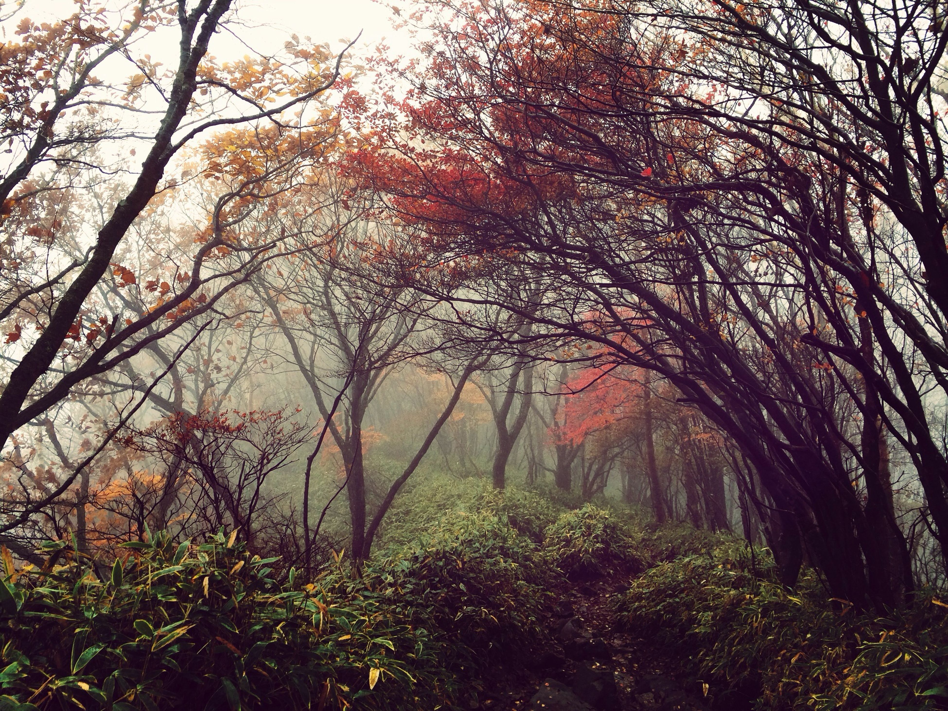 tree, branch, tranquility, growth, forest, tranquil scene, nature, beauty in nature, scenics, tree trunk, woodland, non-urban scene, bare tree, day, outdoors, no people, idyllic, sky, autumn, fog