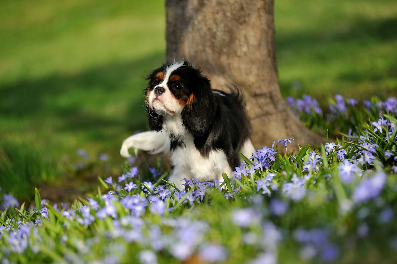Amazing Spring and Beautiful Cavalier Cavalier King Charles Spaniel Cavalier  Akc Ckcs Enjoying Life Dog Love Dog Puppy Cavalierking Springtime Methuen