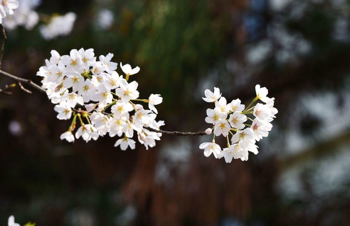 樱花 Flower Beauty In Nature