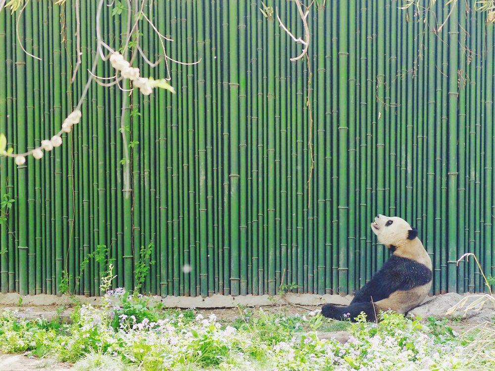 Panda - Animal EyeEm Diversity