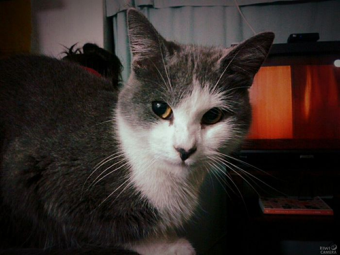 my cute cat♥ Gatos Cat Cat Lovers Gatos 😍 Gatosfelizes