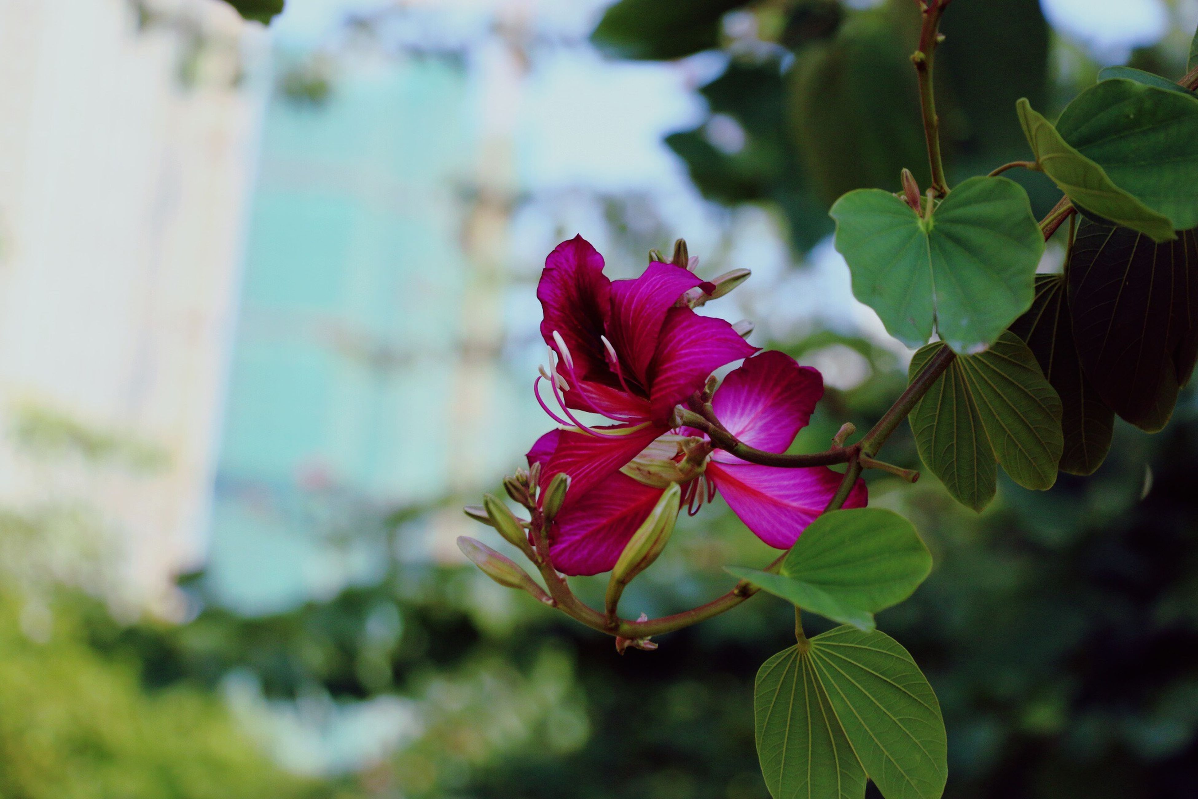 flower, leaf, freshness, growth, petal, fragility, focus on foreground, close-up, plant, pink color, beauty in nature, nature, flower head, blooming, green color, bud, day, outdoors, selective focus, no people