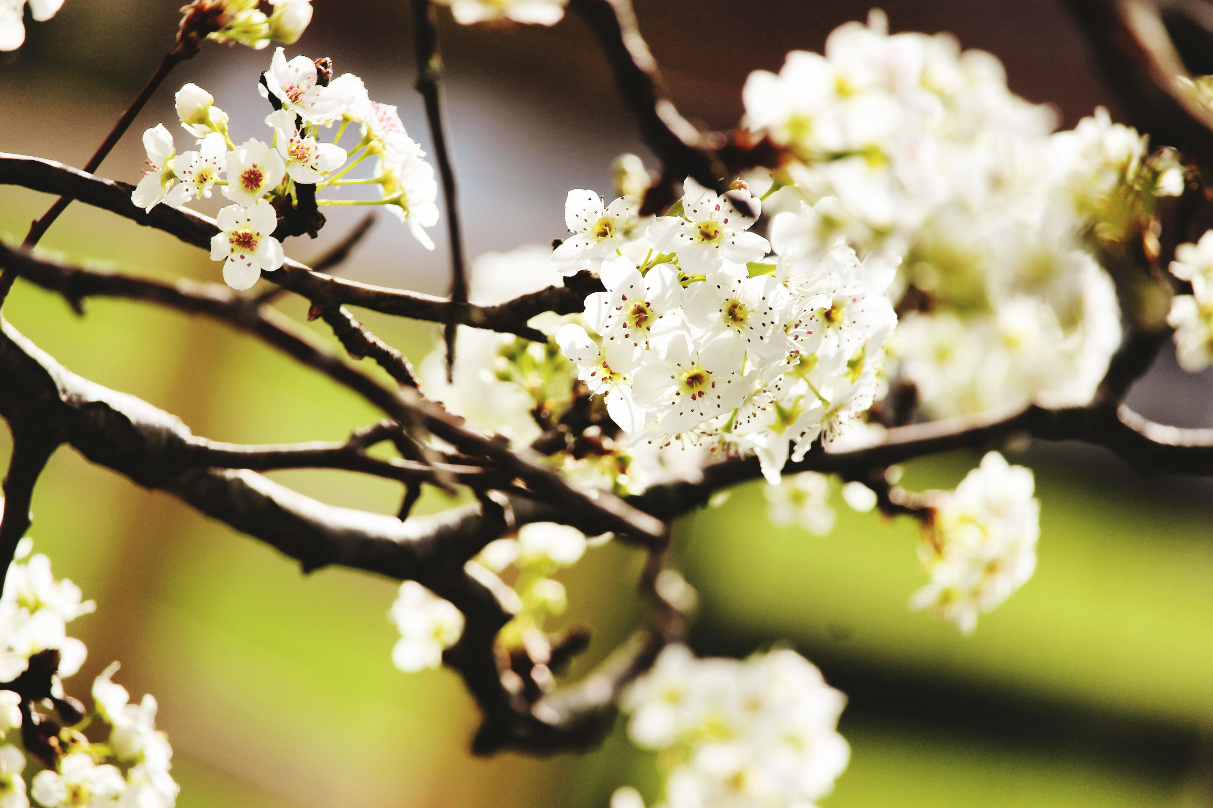flower, freshness, fragility, growth, white color, petal, beauty in nature, branch, focus on foreground, blossom, nature, close-up, flower head, blooming, tree, cherry blossom, in bloom, twig, springtime, cherry tree