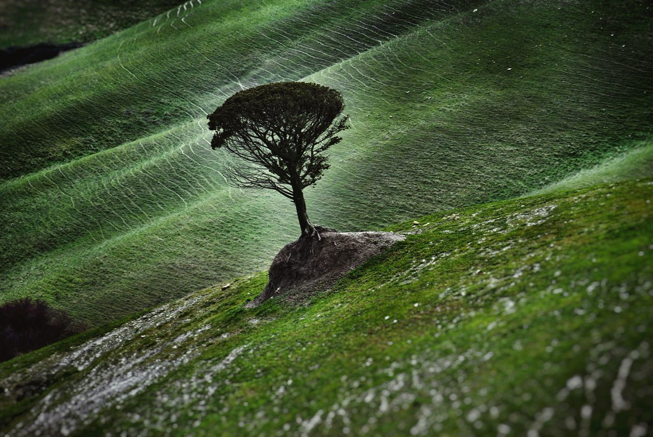 Solitary Tree Pinus Green Fields Tuscany Alone Holding Paths Landscapes With WhiteWall Landscape