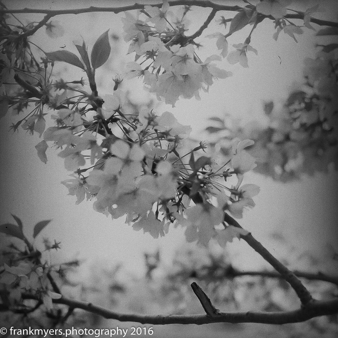 Cherry Blossoms Washington, D. C. Fujifilm Blackandwhite