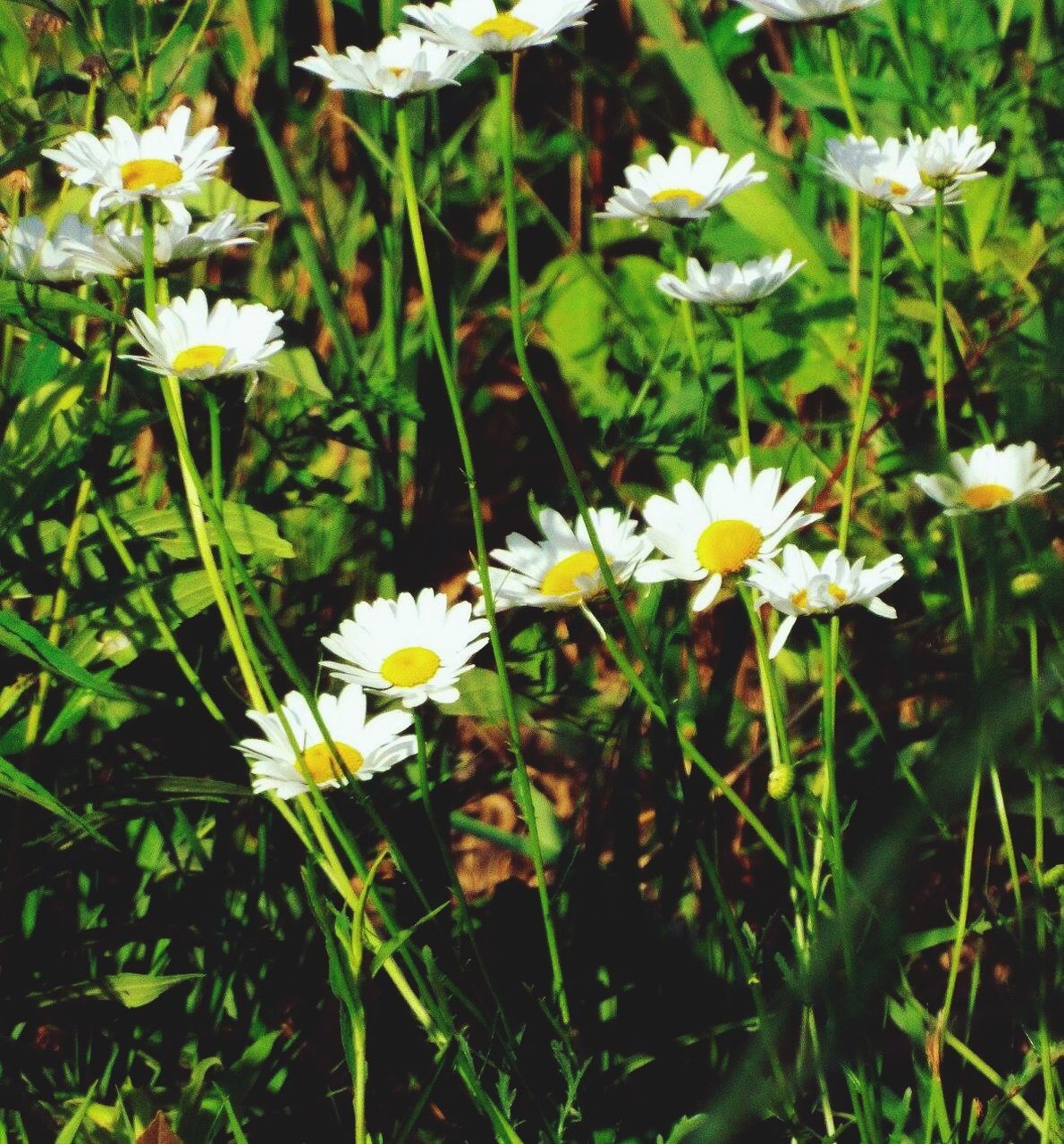 flower, fragility, petal, growth, freshness, beauty in nature, yellow, nature, white color, flower head, plant, blooming, day, field, outdoors, no people, close-up