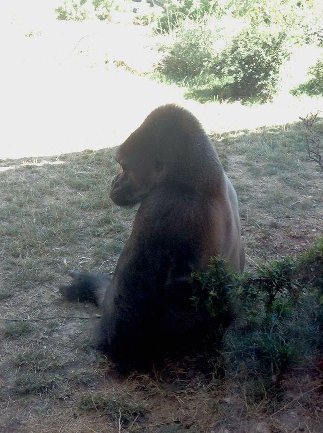 Amnéville  Gorille Animals Zoo Singe Photography Eyemphotography