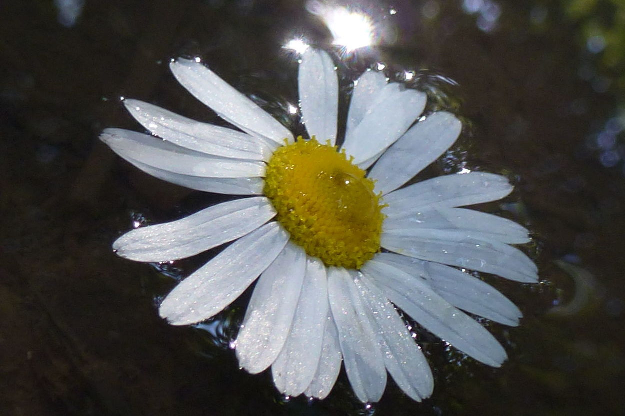 Beauty In Nature Close-up Daisy Drop Flower Flower Head Fragility Freshness Nature No People Petal Plant Sparkle Water Wet Lightreflections In Water White Flower glittering waters Shining Bright Wet Flower Sunlight And Shadow