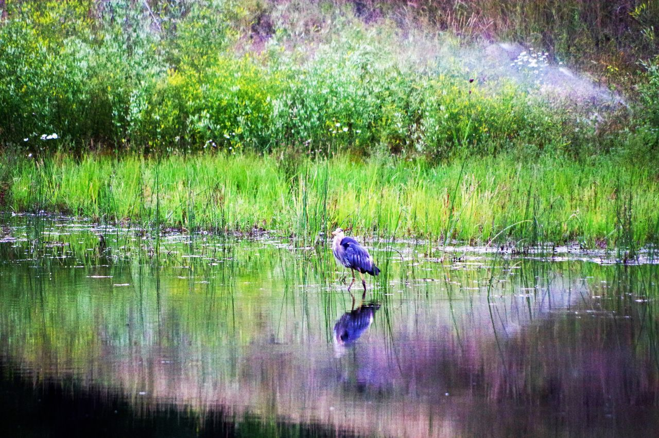 reflection, one animal, animal themes, water, bird, animals in the wild, grass, lake, nature, waterfront, animal wildlife, outdoors, green color, beauty in nature, day, no people, tree
