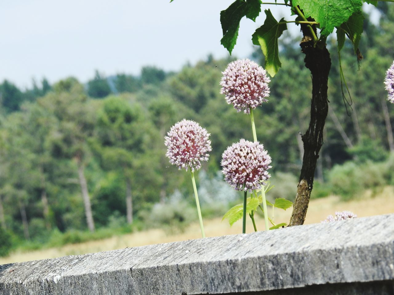 Nature Plant Flower Outdoors Beauty In Nature No People Fragility Focus On Foreground Close-up Growth Day Flower Head Freshness Sky Flower Onion Onion Flower Flores De Cebolla Cebollas Con Flor Flor Bola Flower Balls Flower Ball Nikon Nikonphotography Nikon P900 Nature_collection