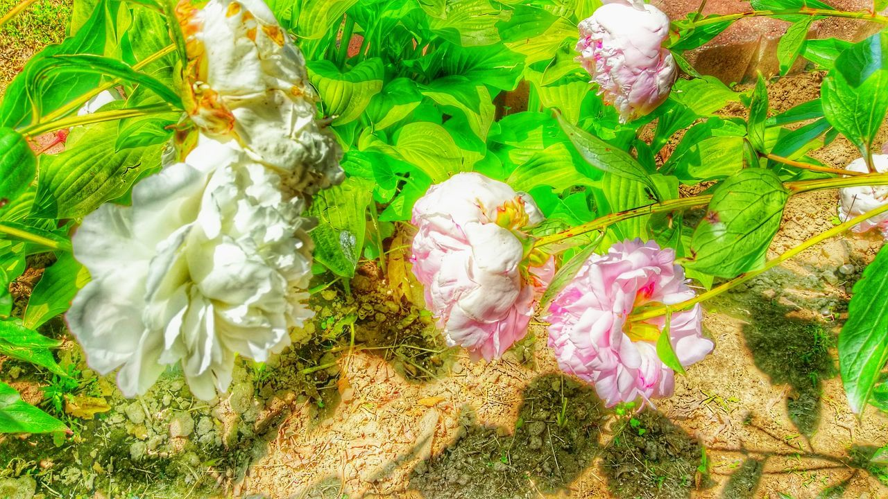 flower, high angle view, nature, petal, fragility, no people, plant, flower head, growth, beauty in nature, freshness, close-up, day, grass, outdoors