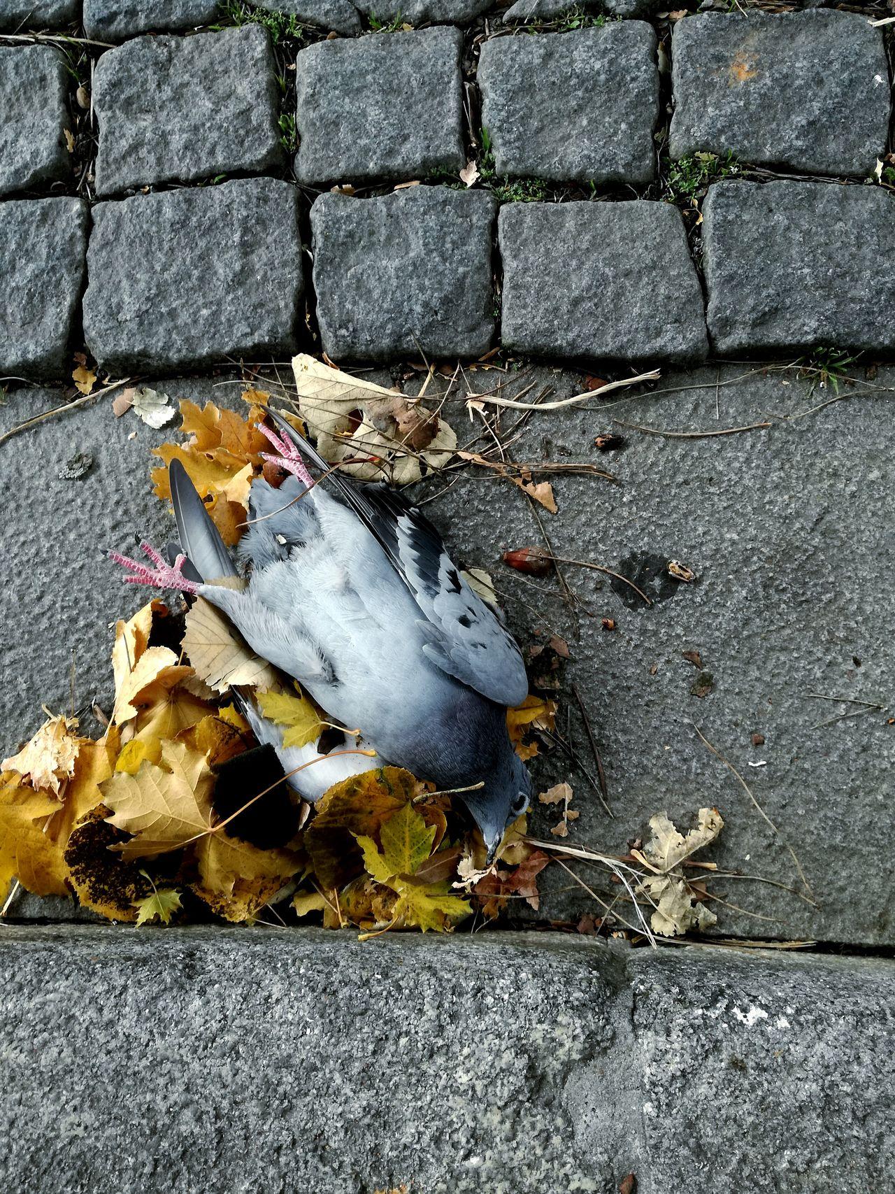 Dead leaves and dead animal. Dead Dove Autumn Leaves Street Dead Animal