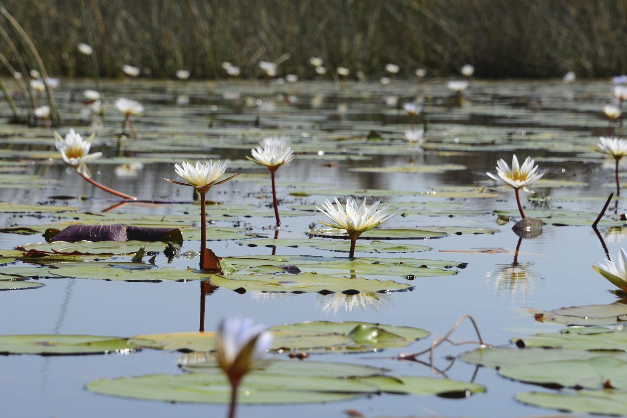 Okavango Delta Botswana Botswana National Park Africa Beauty In Nature Floating On Water Flower Flower Head Lotus Water Lily Nature No People Okavango Delta Okavango River Outdoors Plant Pond Tranquility Water Water Lily