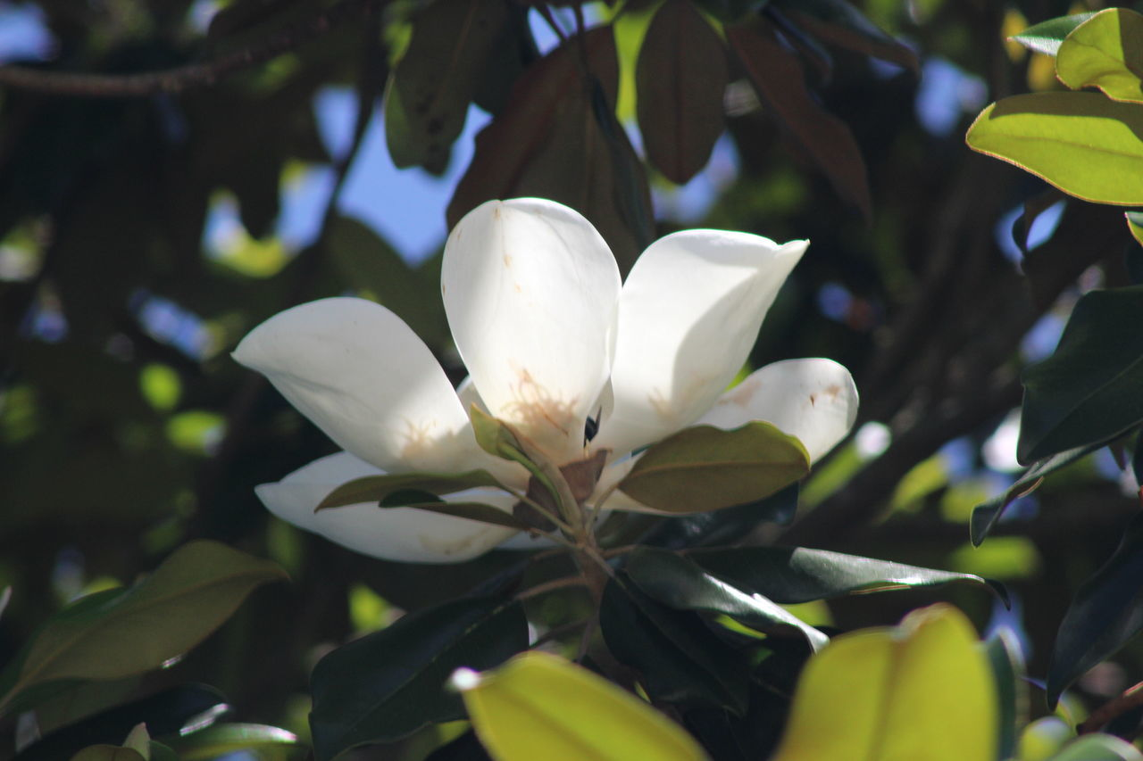 growth, petal, flower, white color, beauty in nature, freshness, fragility, nature, leaf, flower head, plant, blooming, day, no people, outdoors, snowdrop, close-up, frangipani, tree, periwinkle