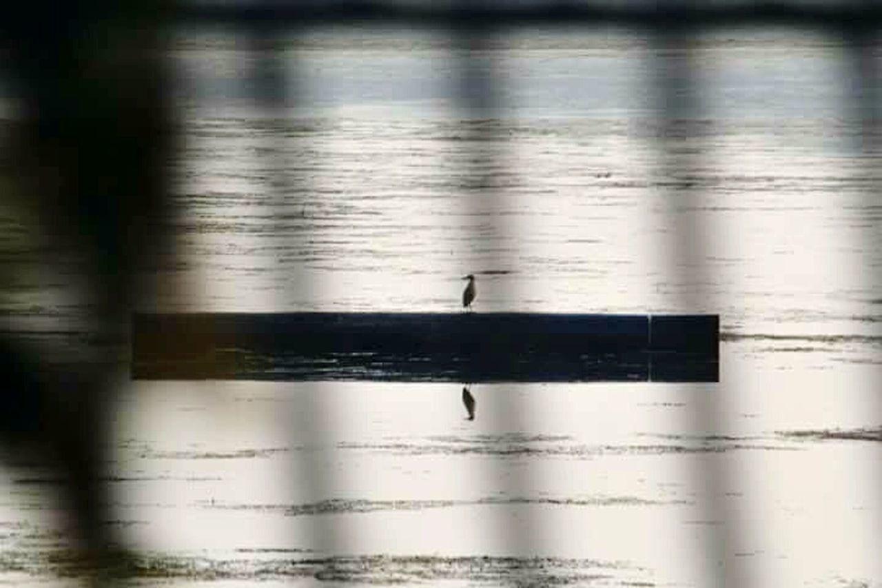 Srinagar Kashmir Bird Lake Dal Lake Srinagar