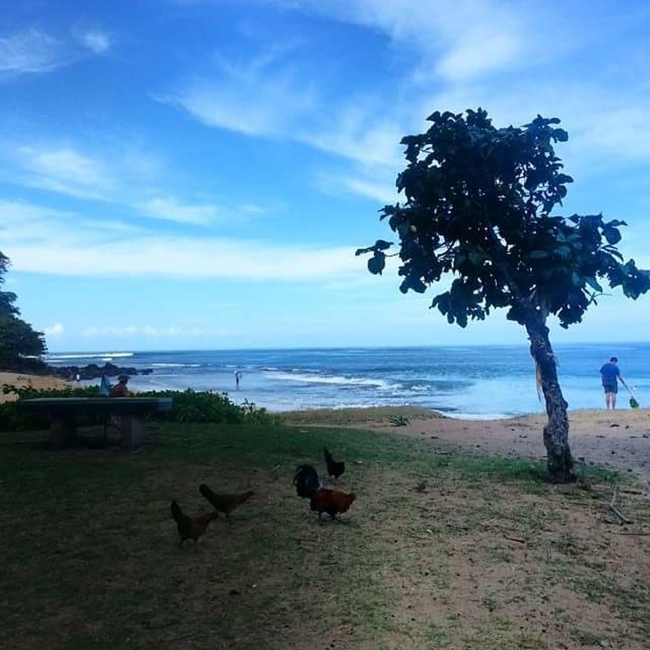 Tree Sea Sky Cloud - Sky Water Beach Bird Animal Themes Outdoors No People Nature Day Mammal Kauai Life Kauai Hawaii Kauai Chickens Chickens Wildlife