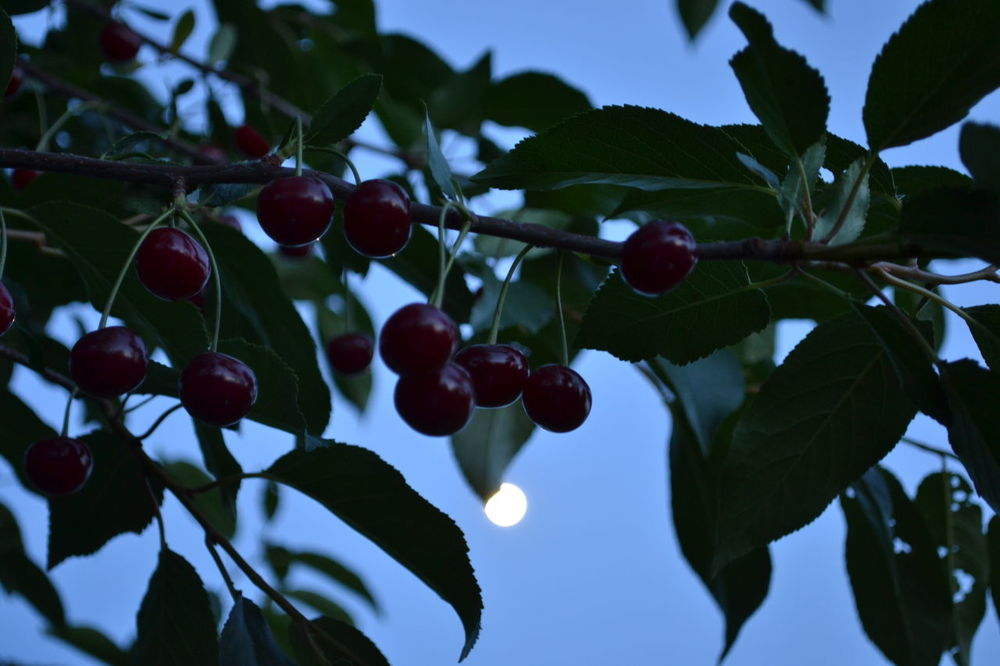 Beauty In Nature Branch Close-up Fruit Leaf Night Nightphotography Outdoors Tree Ukraine Yahotyn