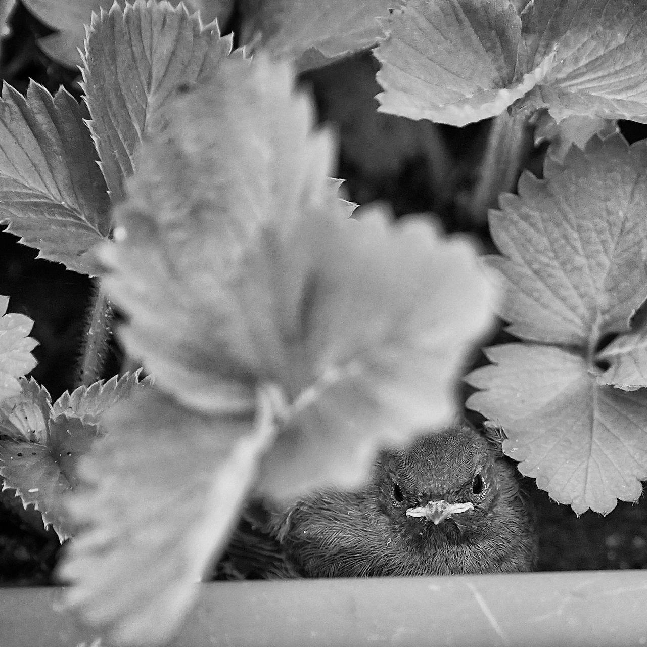 Animals In The Wild Animals In The Wild Baby Birds Black Redstart (Phoenicurus Ochruros) Close-up EyeEm Black&white! EyeEm Nature Lover Fledgling Leaf On My Balcony One Animal Redstart Strawberries