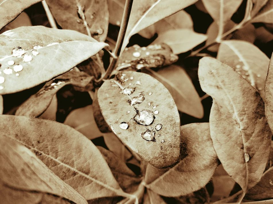 Water droplets on honeysuckle foliage💧🌿, background. Close-up Abstract Plant Backgrounds Calming Background HuaweiP9Photography Droplets On Leaves Droplets, Water Droplets, Flowers  Droplets Textured  Leaf Filter Filters & Effects Calming Background Sepia