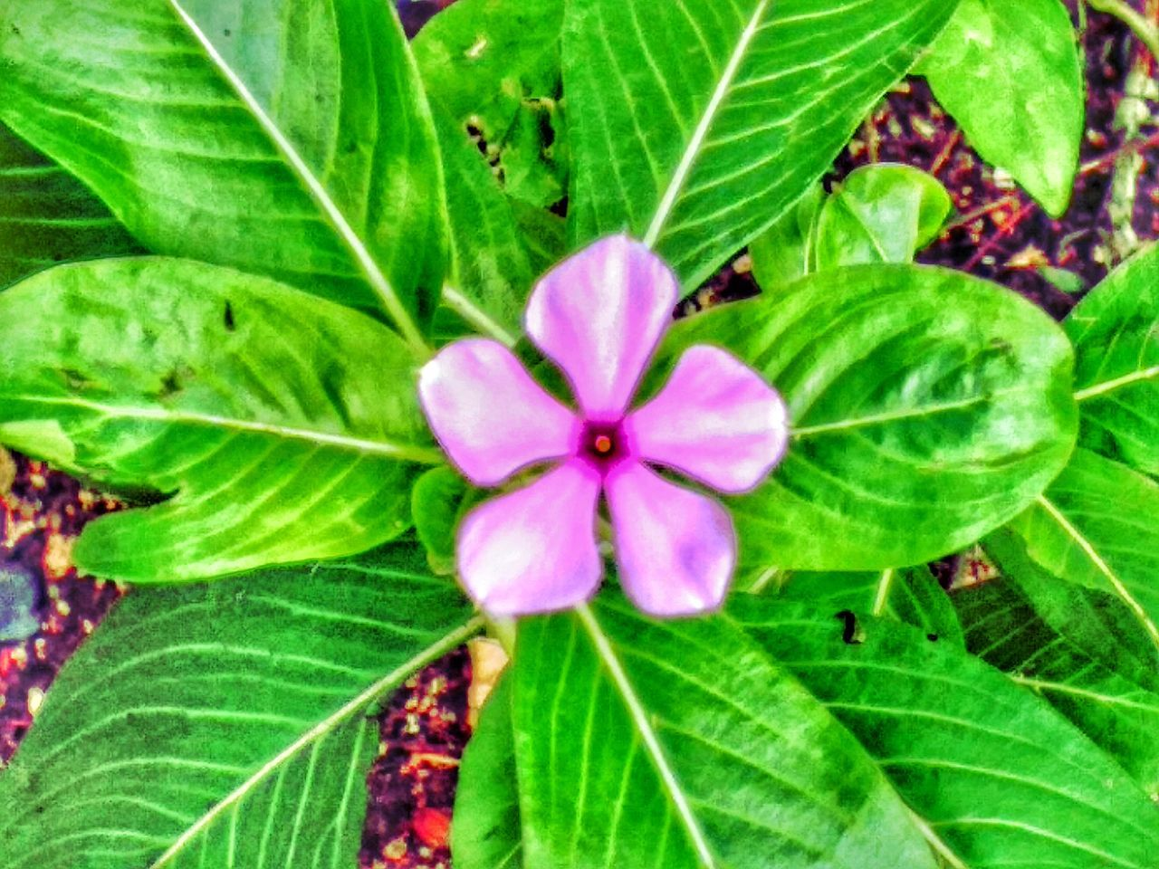 leaf, growth, flower, green color, fragility, nature, beauty in nature, freshness, day, flower head, petal, plant, outdoors, no people, close-up, periwinkle, blooming