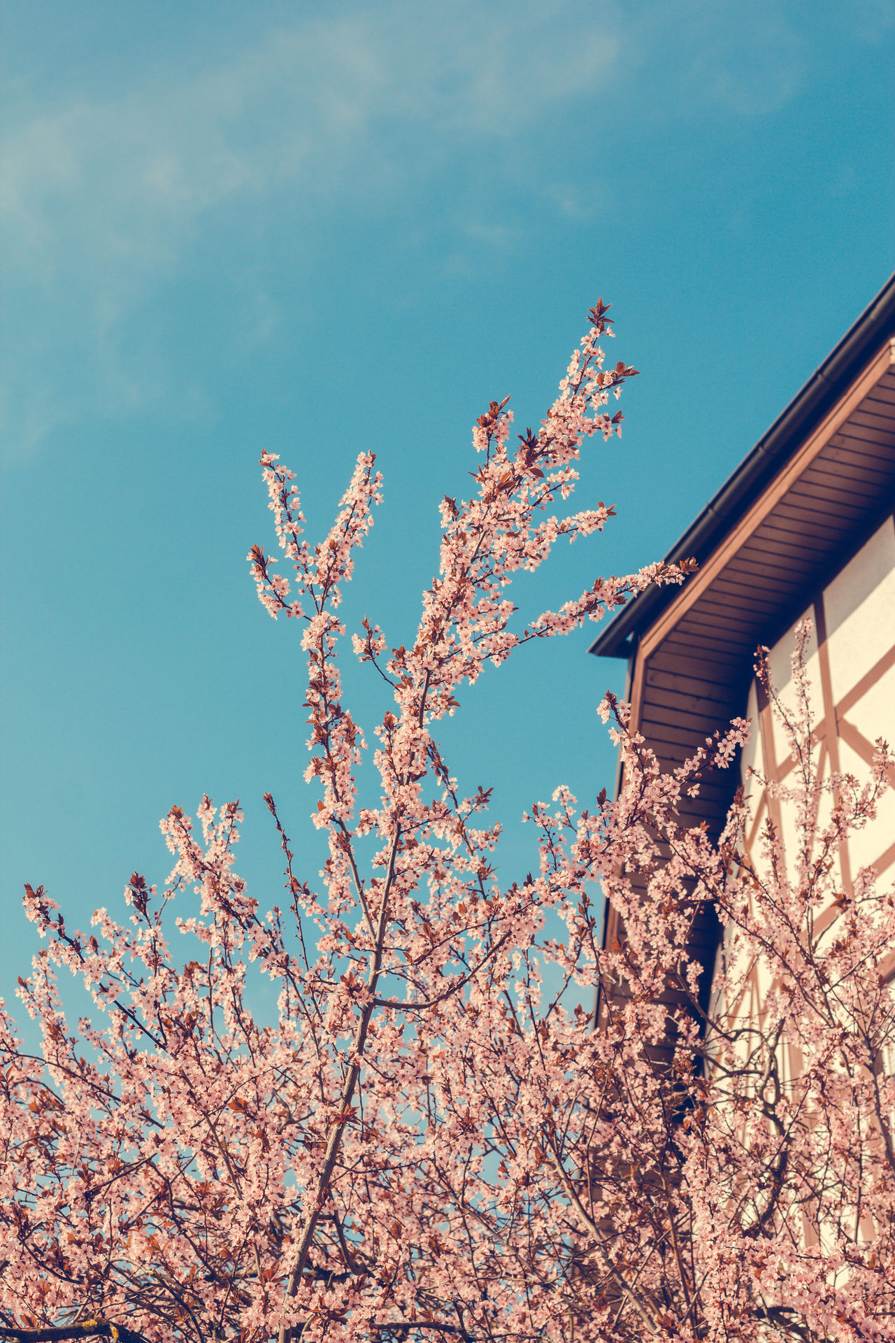 Kirschblüue Architecture Beauty In Nature Blossom Branch Cherry Blossoms Close-up Day Flower Growth Kirschblüten  Low Angle View Nature No People Outdoors Sky Spring Tree