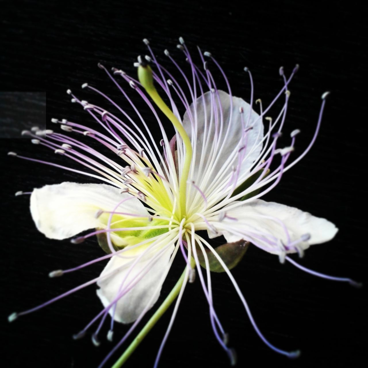 Flower of white Capparis Spinosa, caper. Naturephotography Nature_collection Capparisspinosa Capers Flowers_collection Naturallife Vegetarian Food Check This Out Nature's Diversities