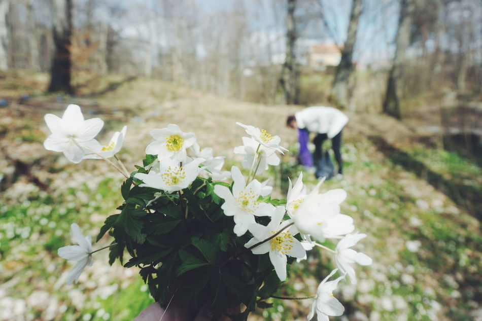 Picking Wood anemone Forest Forest Photography Forestwalk Picking Someone Up Spring Spring Flowers Springtime Unrecognizable Person Woman Wood Anemone