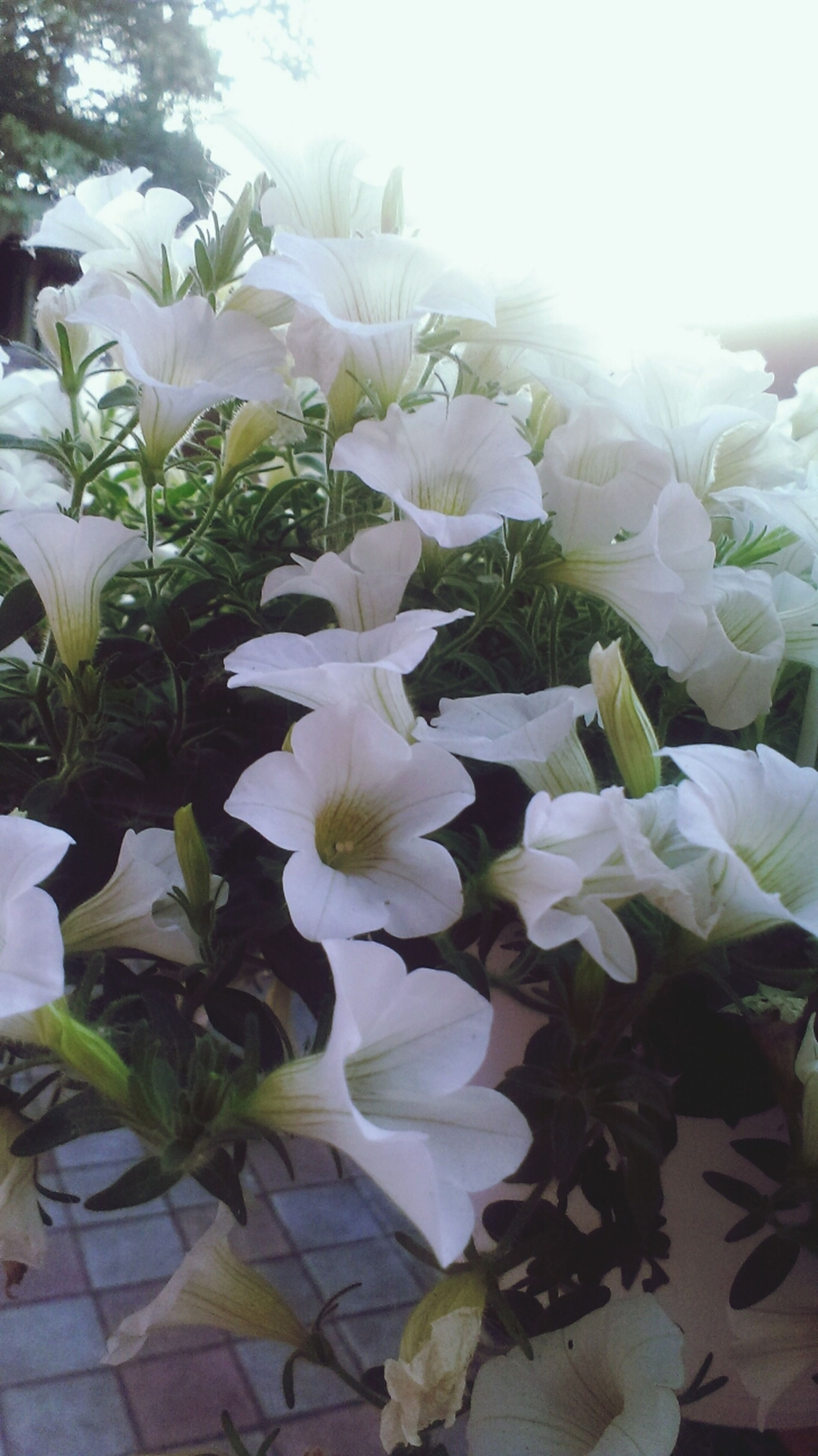 flower, freshness, petal, white color, fragility, growth, leaf, plant, flower head, beauty in nature, nature, blooming, white, close-up, in bloom, potted plant, blossom, no people, day, indoors