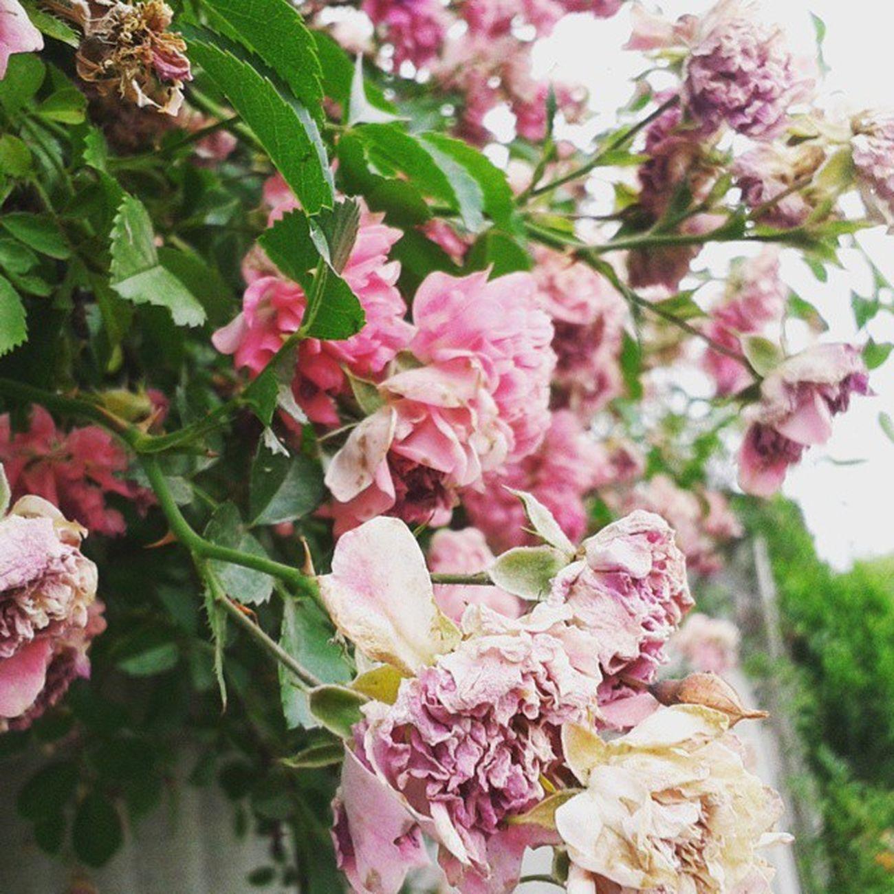 Photo_by_vs VSCO Roses Like_it Beautiful VSCAM