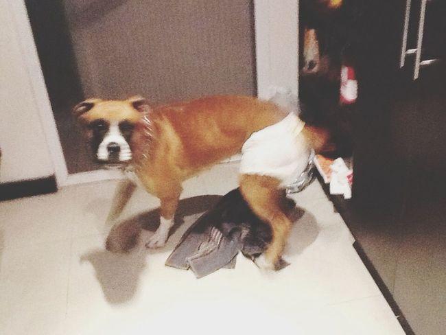Perro con pañal Perro :33 Pañal