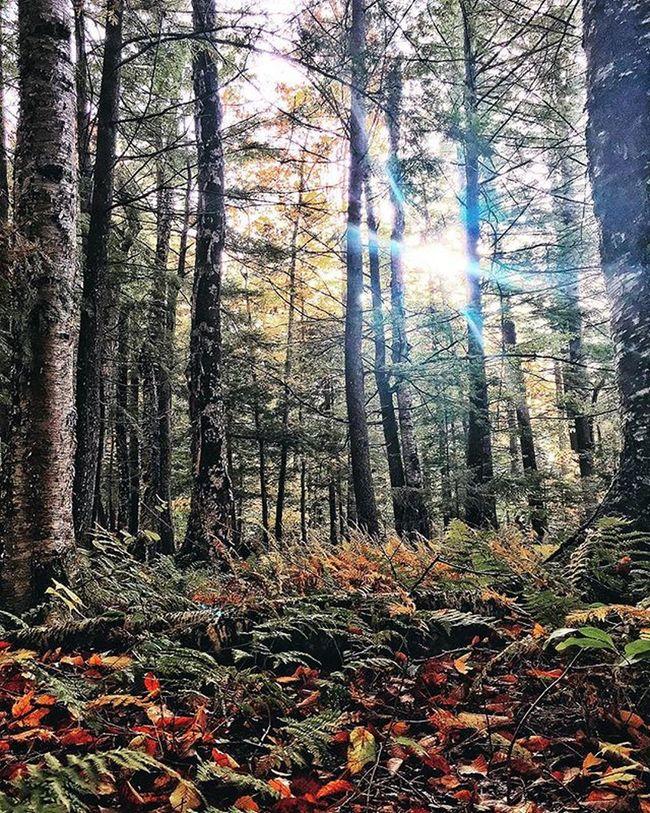 Adirondack Forest ADK Adirondacks Forest Adirondackmountains Color 2015  Fall Snapseed Vscocam Pixelpanda Oldforge Oldforgeny Nature Changingcolors Trees Photooftheday IPhoneography Adkpicoftheweek Upstateny