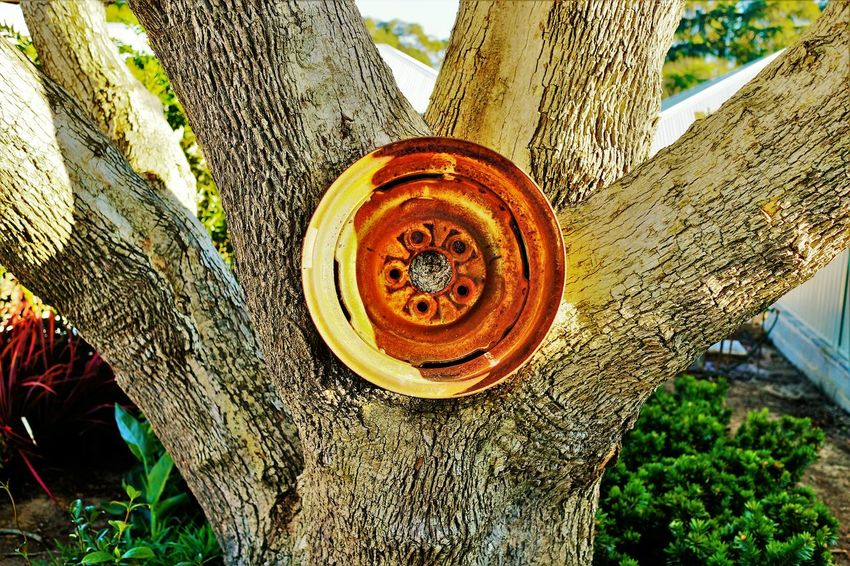 I stumbled upon this tree on which someone has secured a car rim to. I found this to be quite unusual and thought it would make for an interesting photograph. Trees Intriguing Tree Trunk Trees And Nature Tree Bark Interesting Eosm Canon Garden First Eyeem Photo