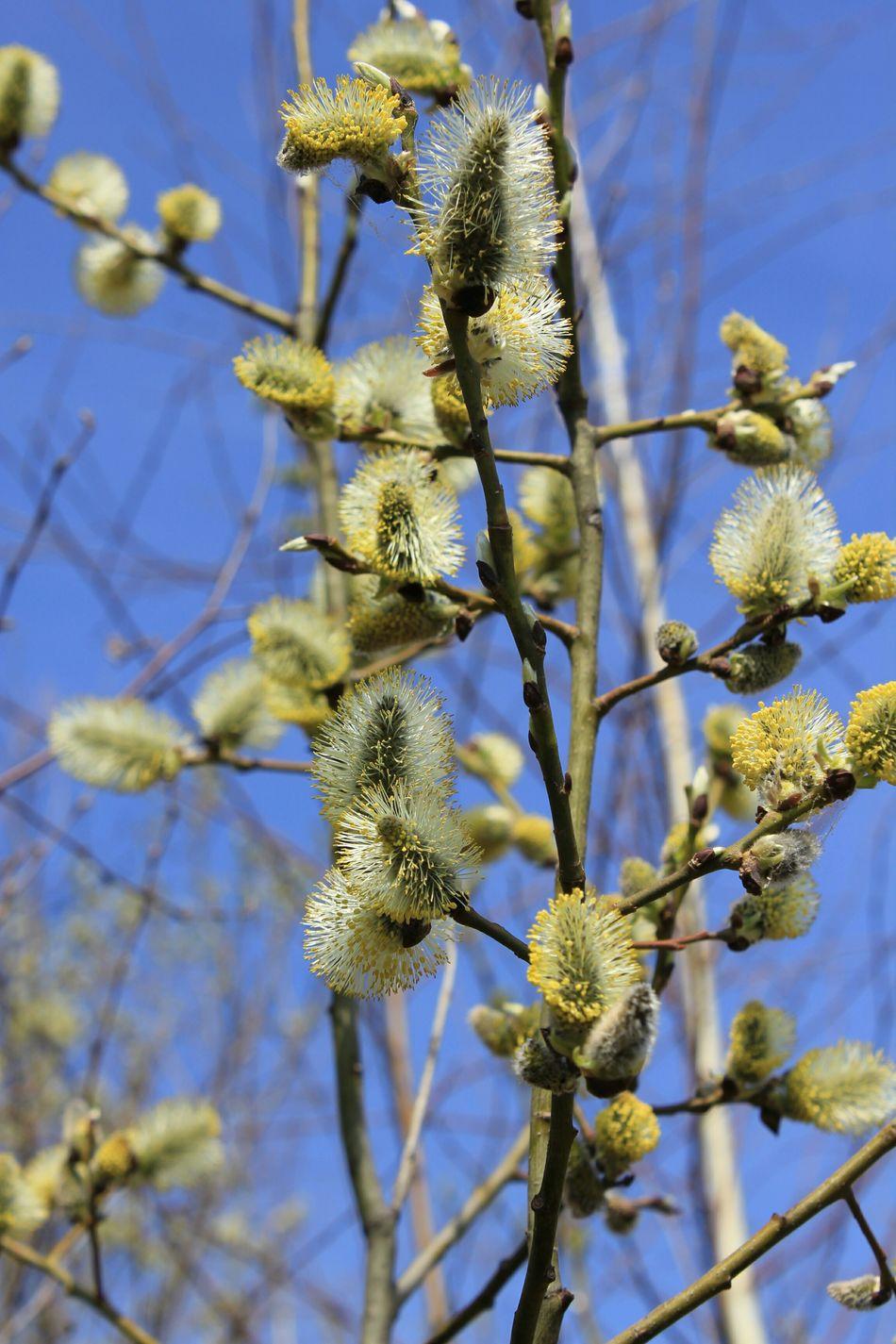 Verba  Willow Buds Natural Beauty Springtime Blossom