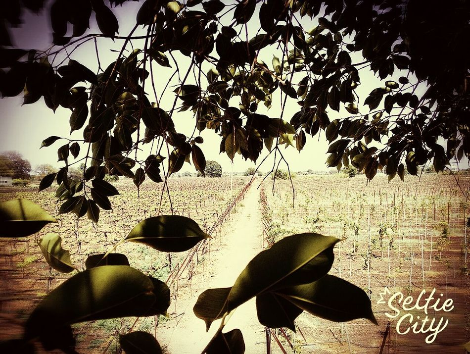 A view from a tall tree of a grapes farm Hanging Out with friends First Eyeem Photo