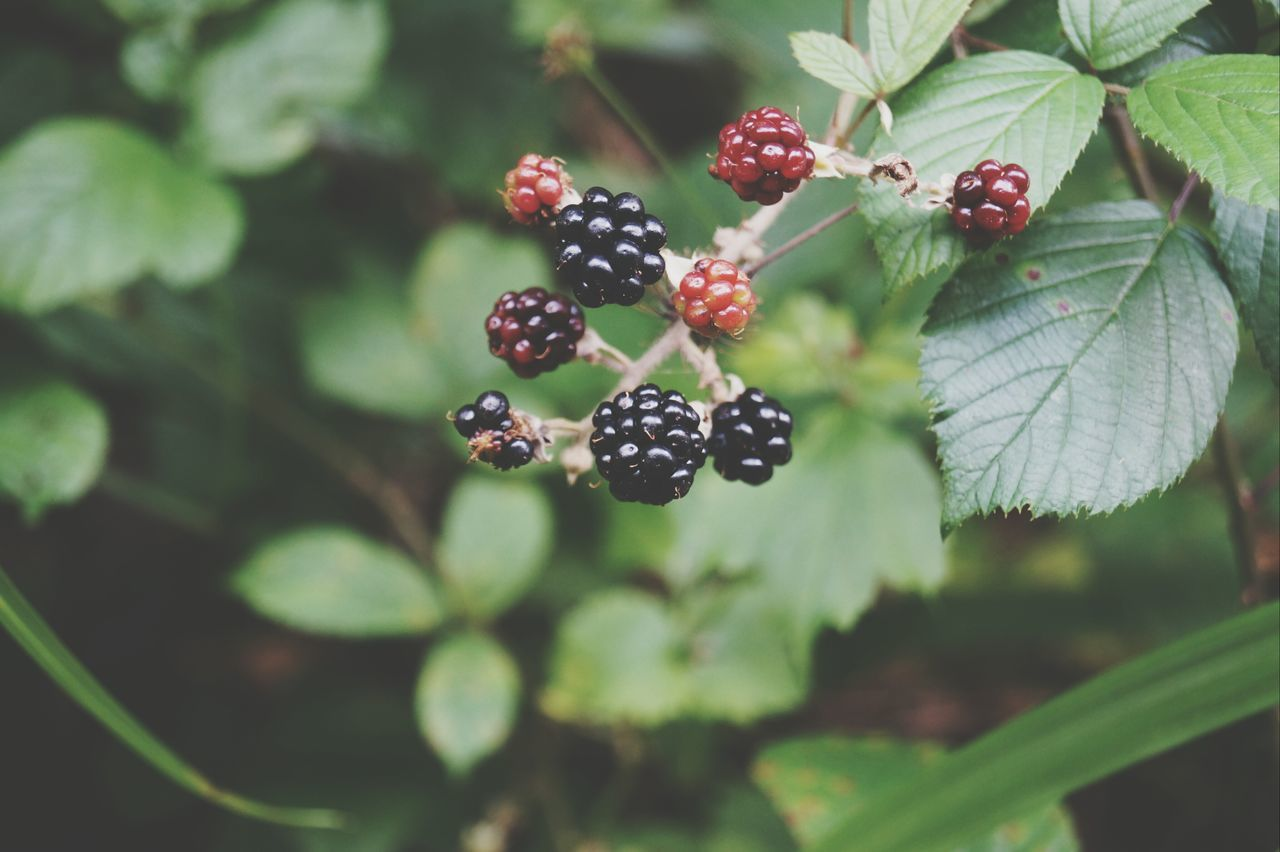 Beautiful stock photos of fruit, Blackberry, Close Up, Day, Focus On Foreground