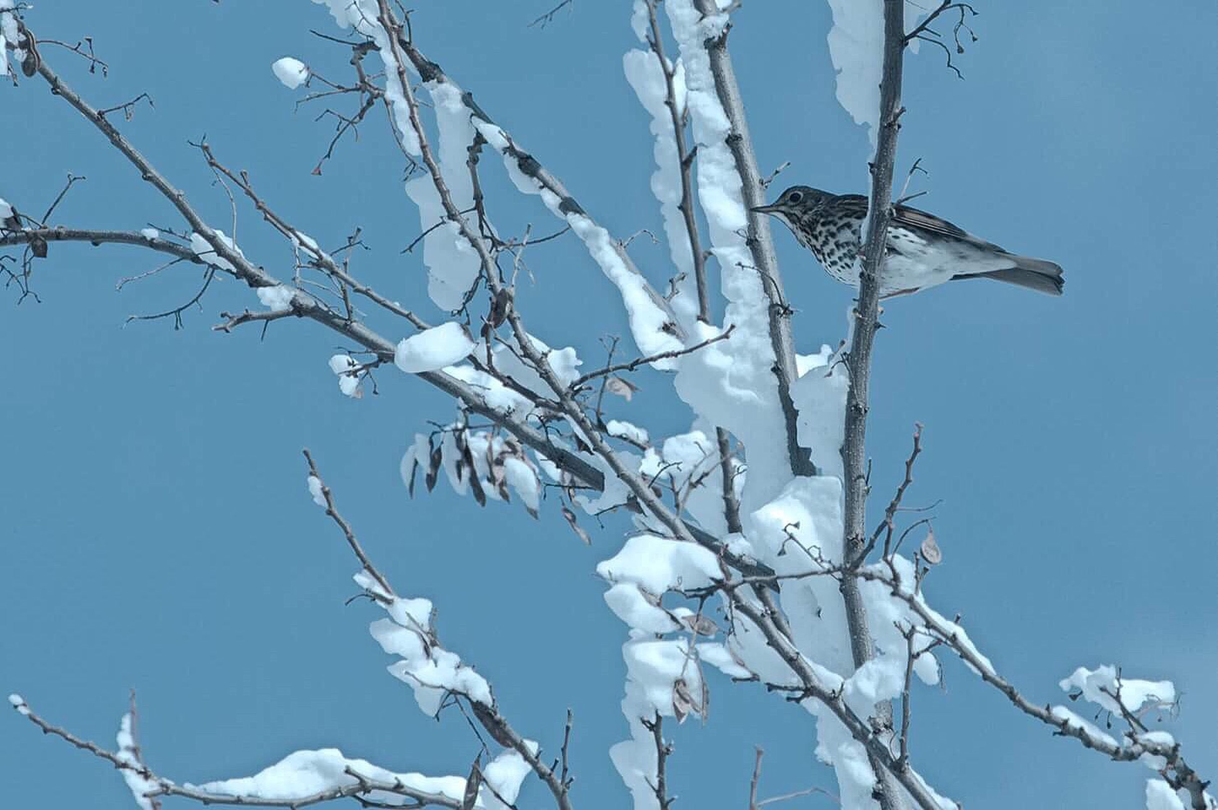 tree, clear sky, blue, low angle view, branch, winter, nature, bird, cold temperature, snow, outdoors, sky, day, no people, beauty in nature