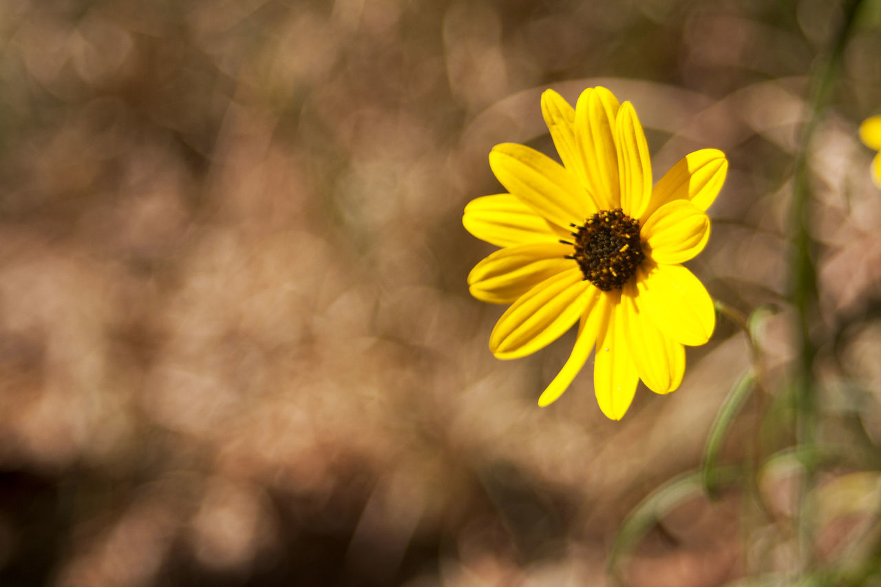flower, fragility, yellow, petal, nature, beauty in nature, flower head, freshness, blooming, pollen, plant, close-up, outdoors, day, growth, no people, zinnia