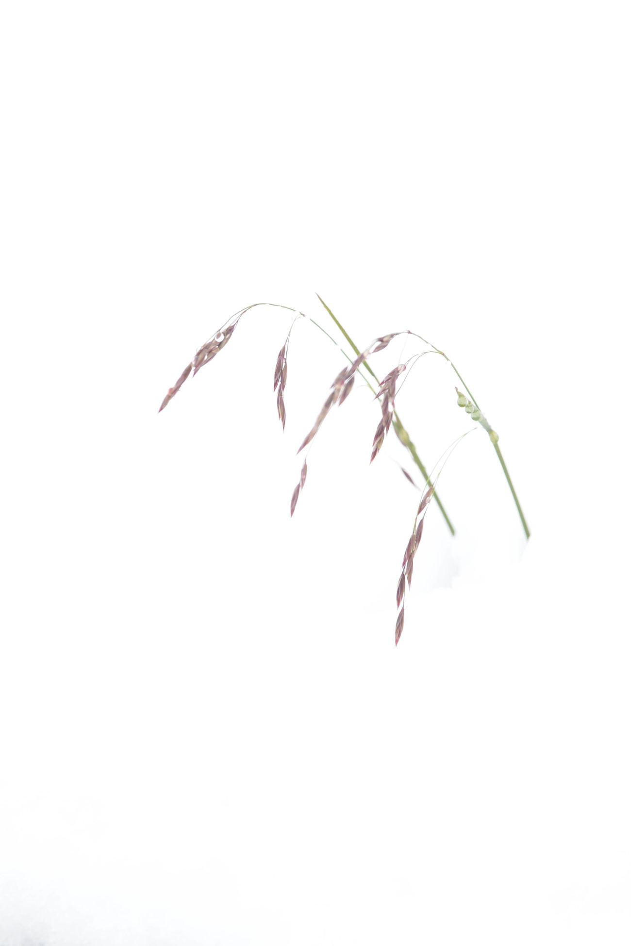 Abstract Alaska Art Close-up Day Grass In Snow Growth Nature Nature No People Plant Silhouette Snow Snow In Summer White White Background Wild