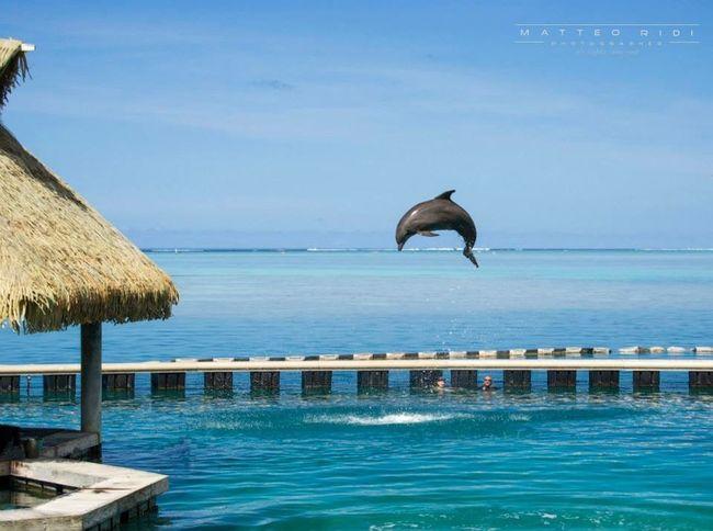 Moorea FrenchPolynesia Delfino Sea Mare